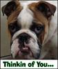 English Bulldog Thinking of You