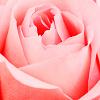 lovely rose for you ♥