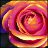 ♥ a rose for a special person