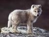 Fwuffy Baby Wolf